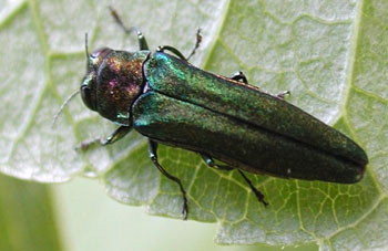 The Emerald Ashborer has destroyed millions of Ash trees in the U.S. since 2002.